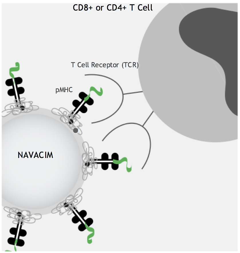 Navacims are used to treat autoimmune diseases through in vivo expansion and activation of disease-specific regulatory T-cells (T-regs), which normally play a key role in maintaining immune system balance and immune tolerance