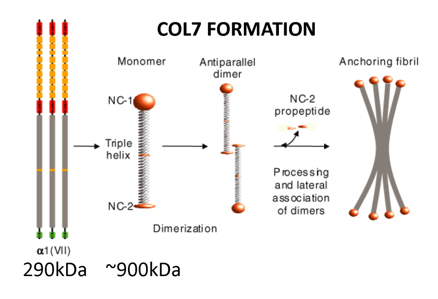 According to Fibrocell, COL7 is the main component of anchoring fibrils that connect layers of skin, and without them, patients suffer from constant blistering