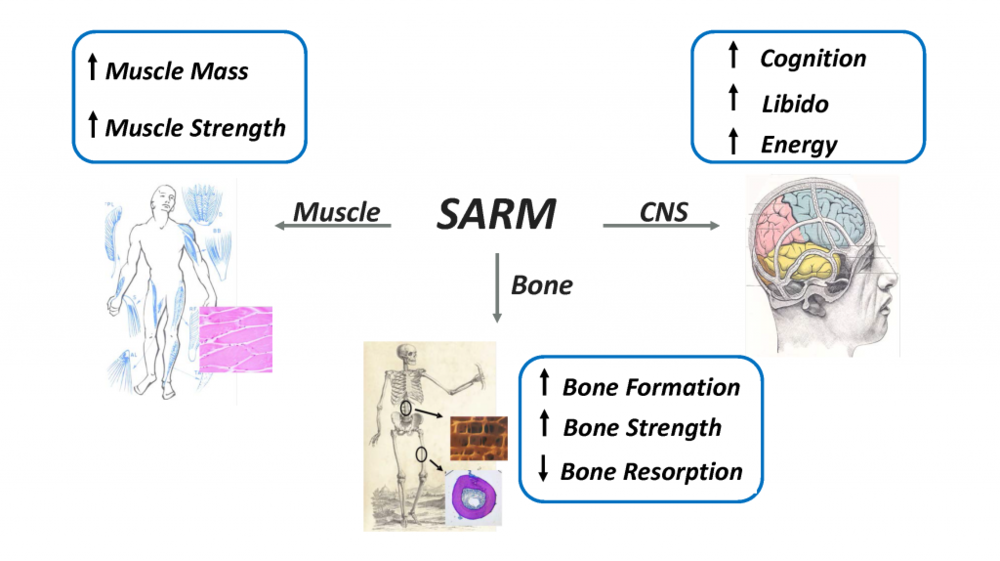 According to Viking, SARMs have ideal anabolic properties for building post-fracture bone and muscle mass