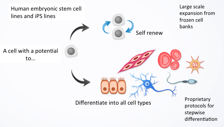 Kadimastem technology enables the differentiation of stem cells into a range of functional human cells for regenerative medicine, including neuron-supporting cells of the brain for diseases of the central nervous system, such as ALS
