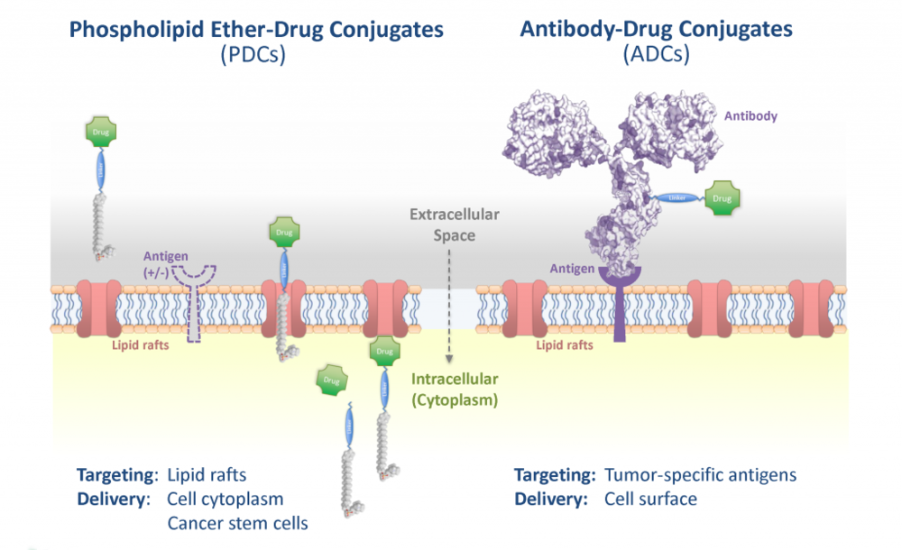 Unlike antibody drug conjugates, which are biologics that target tumor-specific antigens at the cell surface, PDCs are designed to enter cancer cells through the cell cytoplasm and to be cancer selective