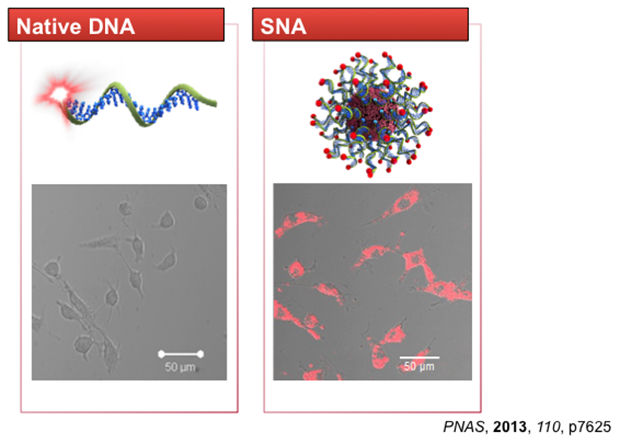 SNA Constructs Enter Cells Effectively Without Toxicity