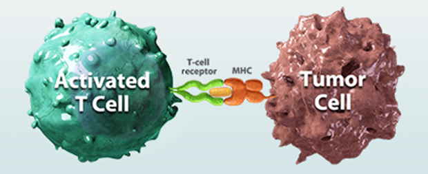 "Checkpoint molecules put the brake on immune cells and can be tricked by cancer cells to do so. Checkpoint inhibitors are designed to ""take the brake off"" and thus activate the immune system."