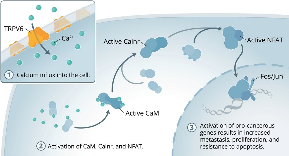 TRPV6 plays a key role in cancer pathogenesis