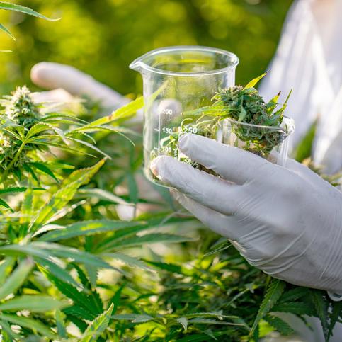 cannabis-1050807206.jpg