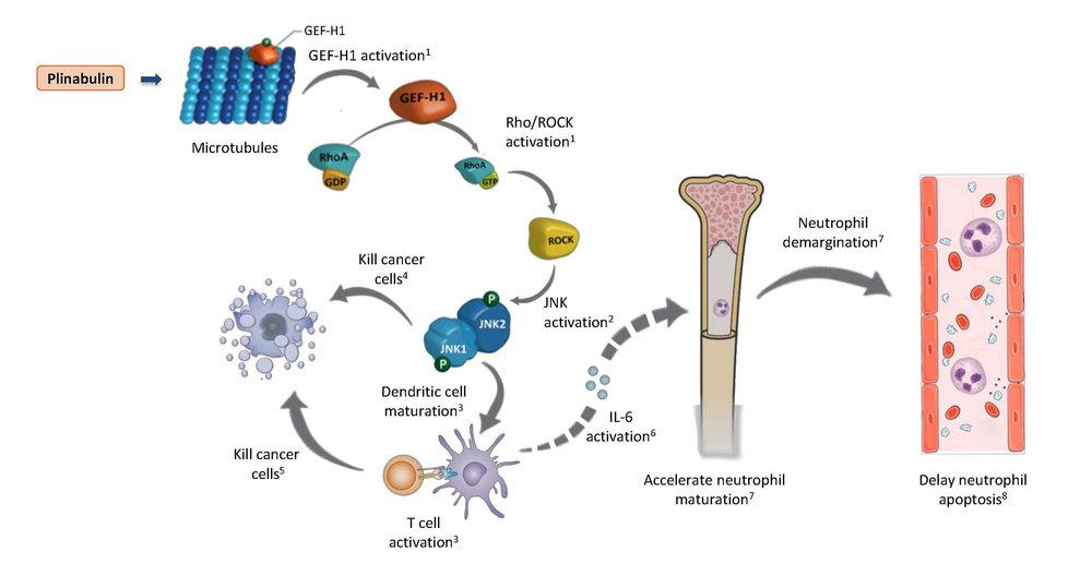 Plinabulin: Mechanism of Action