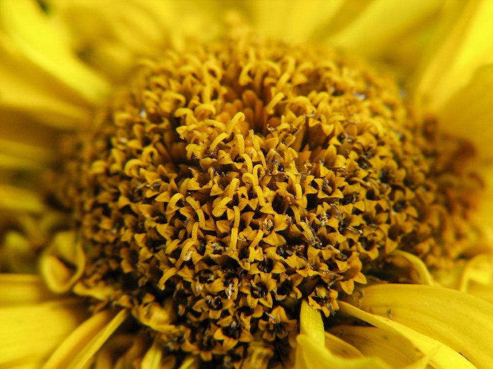 Canon Powershot S2 IS Review Sunflower Macro