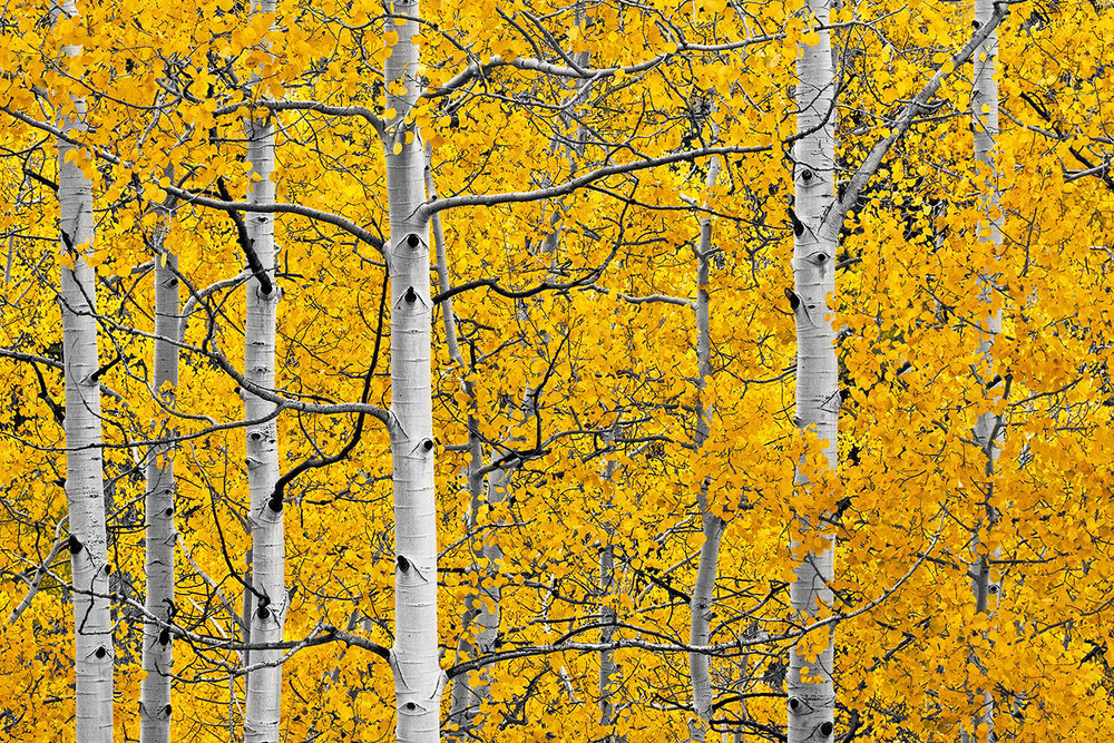 """Last Dollar Road - During the peak fall season in Colorado, the golden Aspen trees are everywhere—on almost every ridge and in almost every valley. However, it is sometimes very difficult to capture the """"essence"""" of the white trees with the little golden leaves. I for one was looking for a large clump of golden Aspen leaves that would fill up a whole frame to create the illusion that they were everywhere. I tried tons of Aspen groves, but never could find the right composition."""