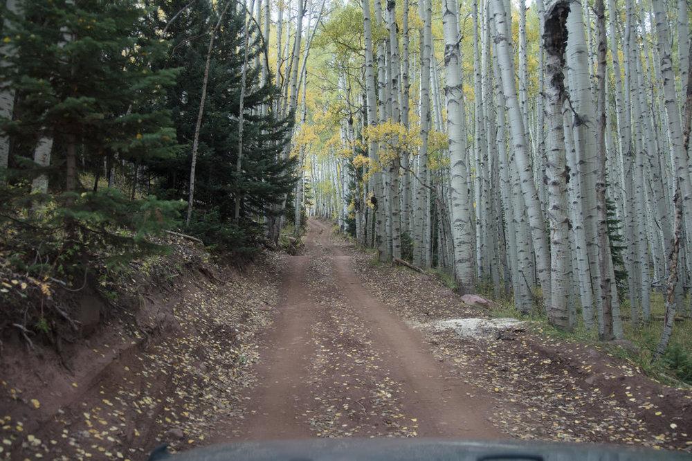 Narrow road through Aspen grove