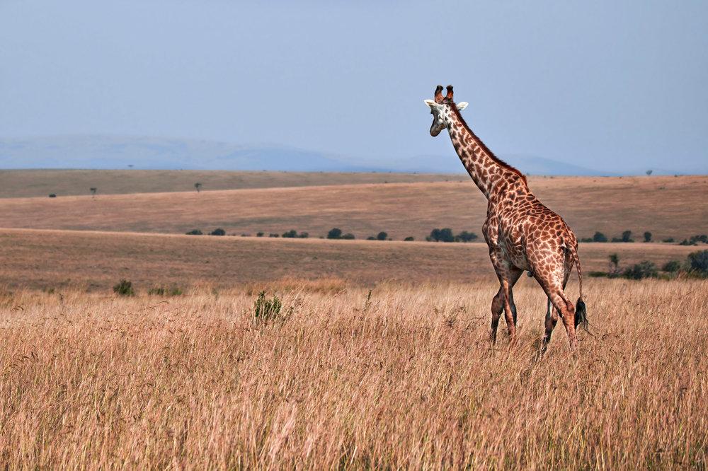 Newest Giraffe 2.jpg