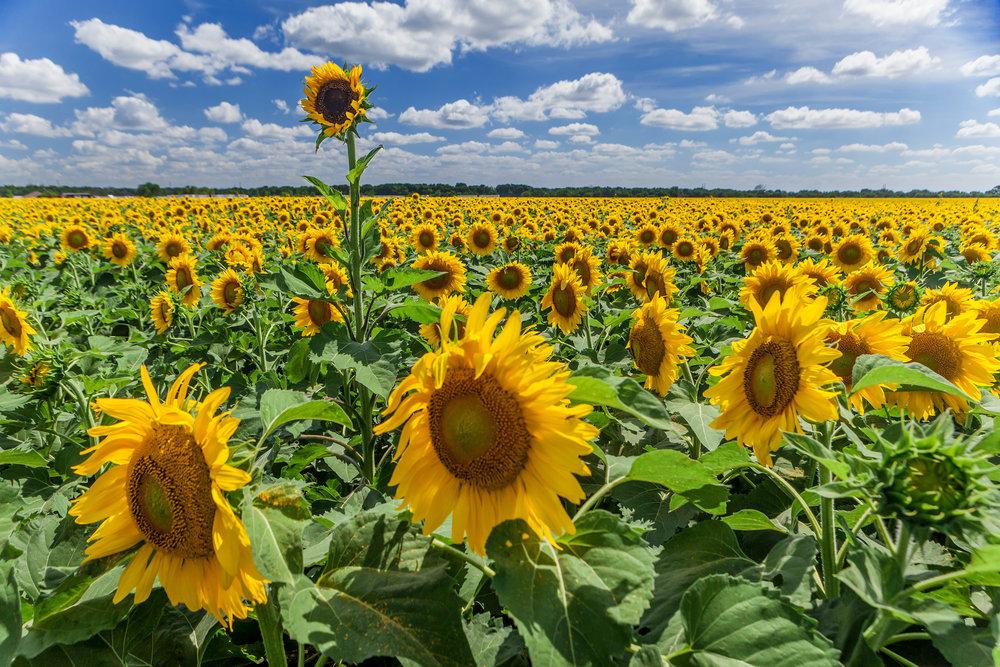 Sunflowers Wax 2015.jpg