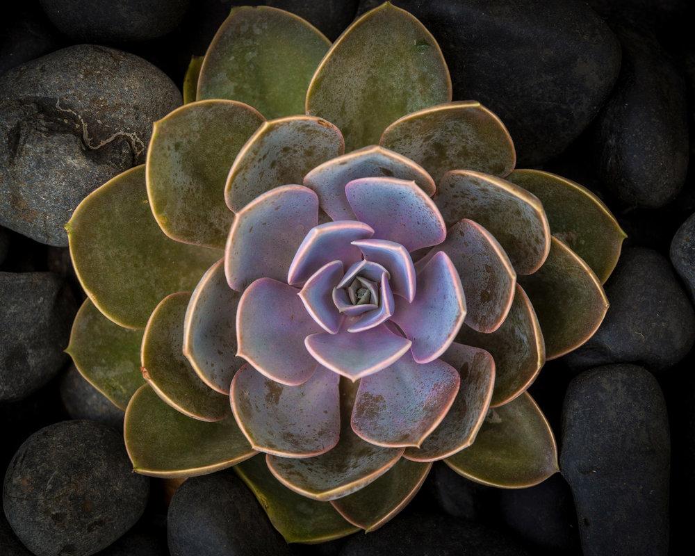 _30A0239_Succulent_small.jpg