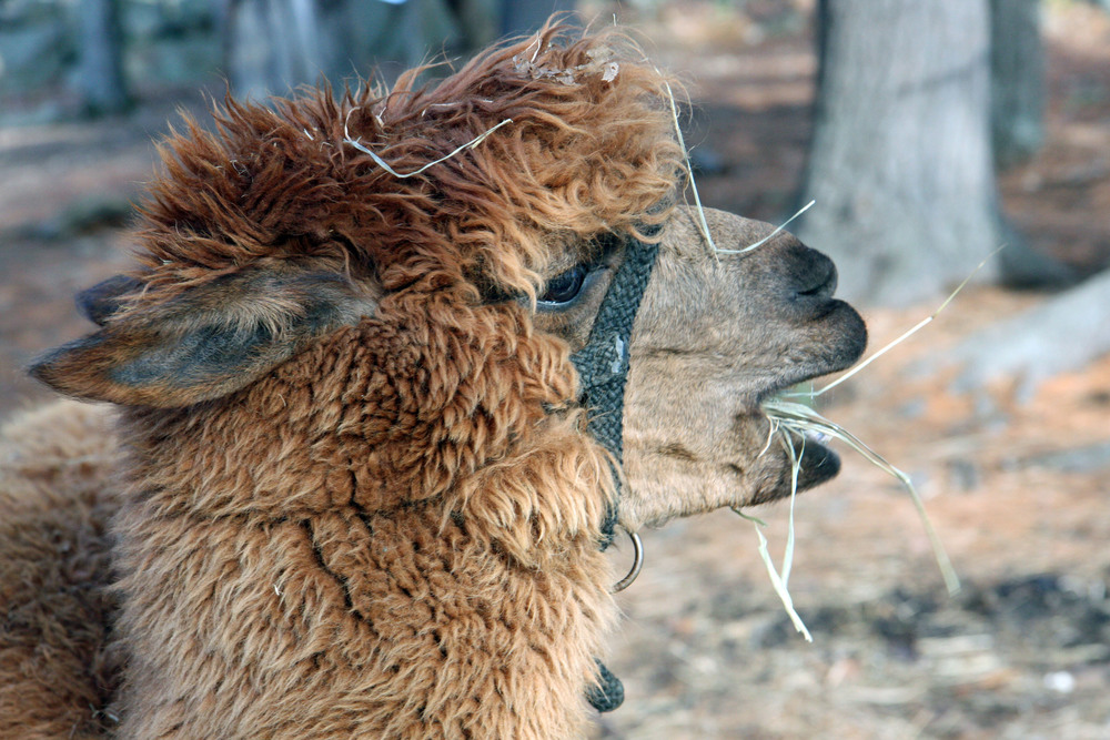 Say hi to an alpaca at the farm!
