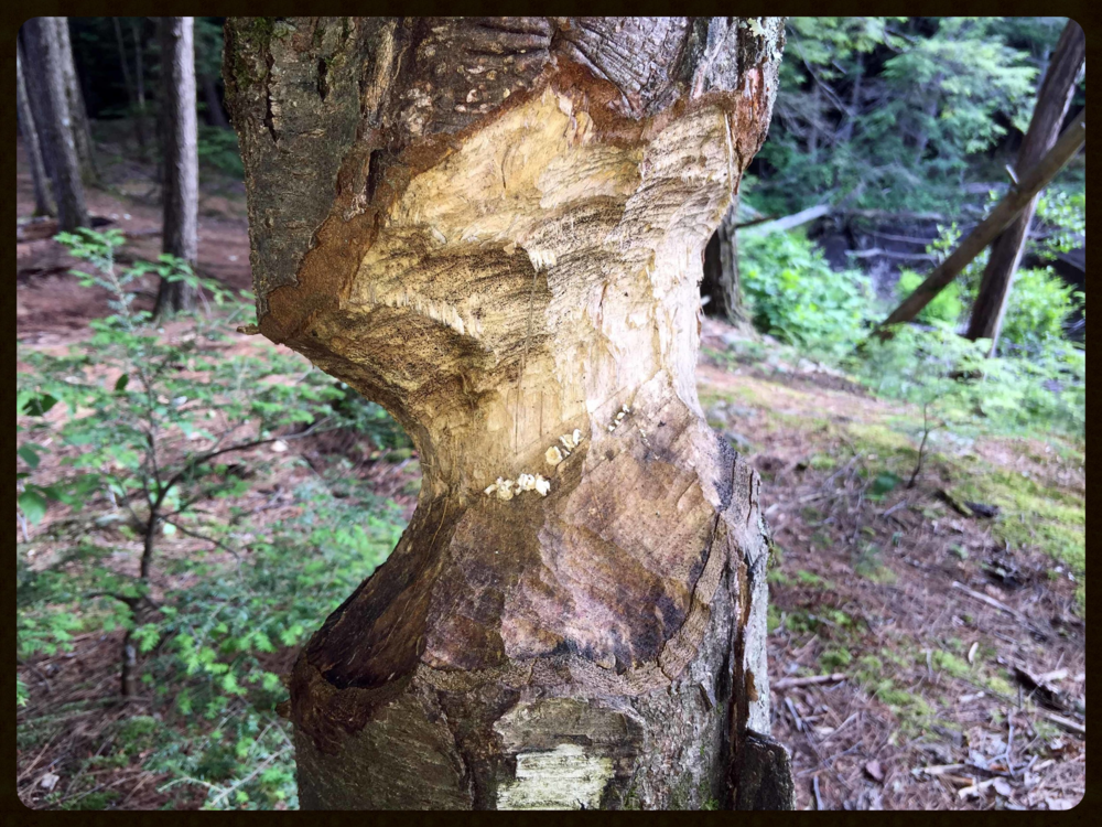 Beaver-gnawed tree, near Gage's Mill at Pulpit Rock Conservation Area