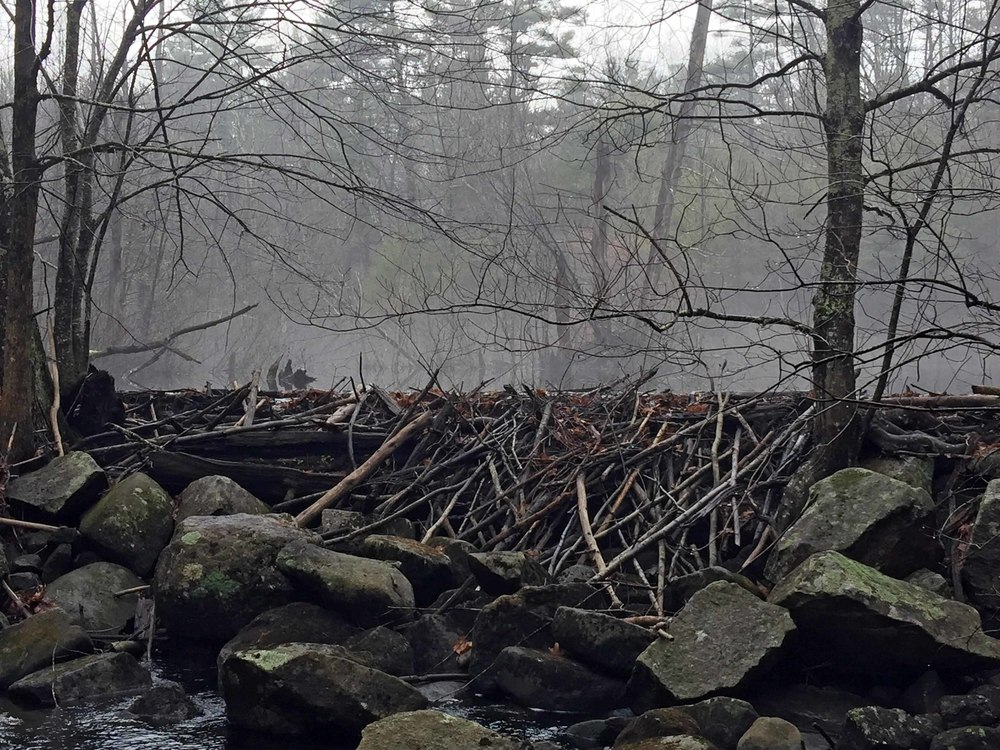 Beaver dam near Riddle Brook footbridge