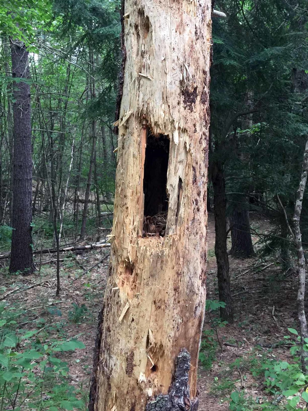 Hole made by a Pileated Woodpecker