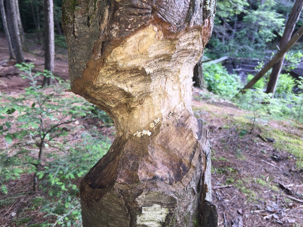 Beaver-gnawed tree near Gage's Mill