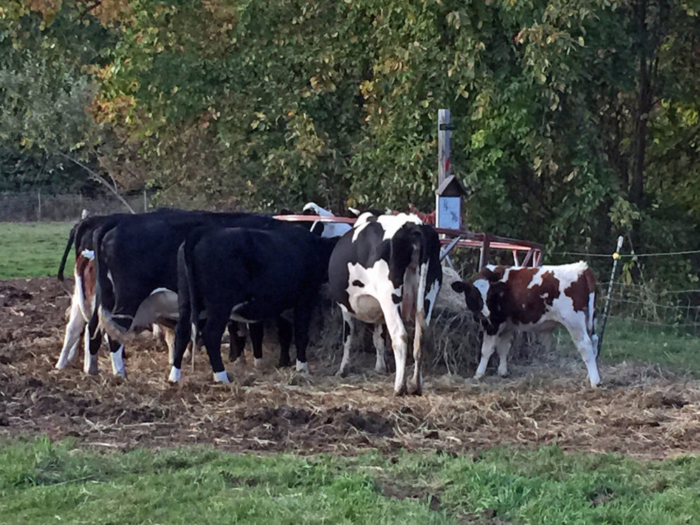 Cows feeding in the north field