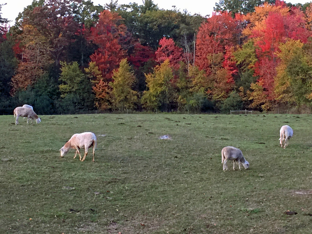 Sheep grazing in the north field