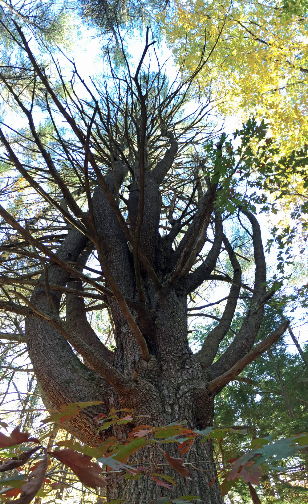 Click here for more information about this mammoth pine tree on the trail between Joppa Hill Farm and Pulpit Rock -