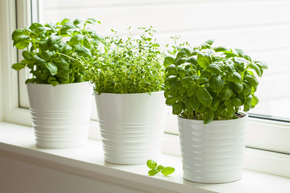 Window Sill Potted Basil and Thyme Herbs Fesh Basil and Thyme Herbs