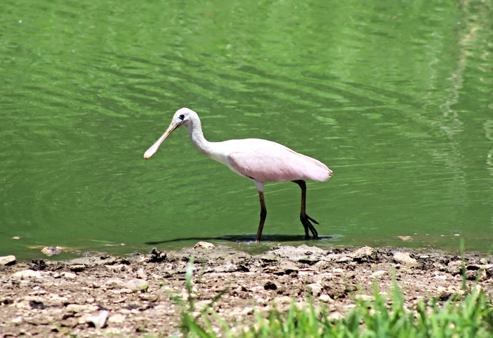 belize-roseate-spoonbill
