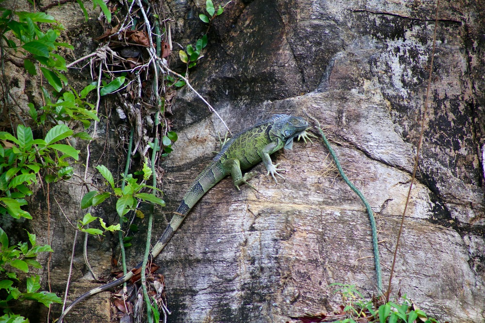 A green iguana (Iguana iguana) with a powerful grip