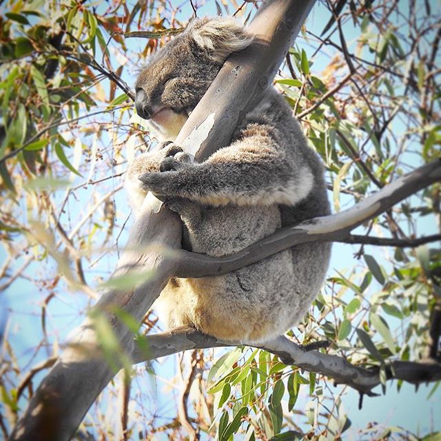 Who needs a hug today? 🙋🏼♀️ (just not with a wild animal) • • • • • • #aussie_images #animals_happy #australianwildlife #australia #visitmelbourne #seeaustralia #seeaustralia_vic #wildlifeig #wildlifeplanet #wildlifeonearth #wildlife_vision #koala #koalafied #marsupial #marvelouz_animals #majestic_wildlife_  #aussie_world #visitvictoria #wildlifetravel #thenaturalist #wildlifephotography #nikonp900