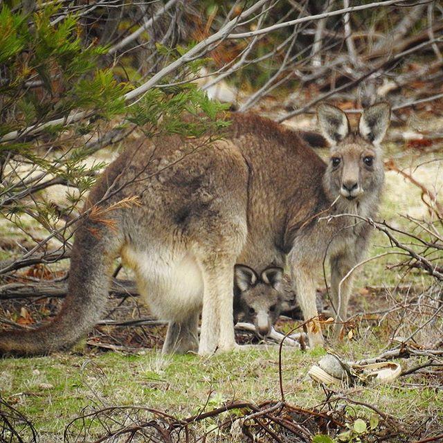 Kangatwo • • • • • #aussie_images #animals_happy #australia_shotz #australianwildlife #seeaustralia #seeaustralia_vic #melbourneiloveyou #melbourne #visitmelbourne #youyangs #melbourneigers #wildlifeig #wildlifeplanet #wildlifeonearth #wildlife_vision #wildlifephotography #kangaroo #kangaroopouch #babykangaroo #marvelouz_animals