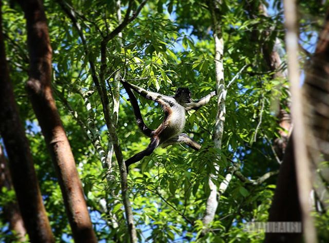 Blink and you'll miss the lush wildlife in Belize's jungles, like this male spider monkey getting himself to the next tree. When it comes to animals it pays to be quiet, patient, and just a little bit lucky 😉 • • • • • • #spidermonkey #monkey #belizeit #belize #visitbelize #travelbelize #trustthewild #monkeygram #primate #wildlifeig #wildlifeplanet #wildlife_vision #wildlifeonearth #wildlifephotography #canonphotography #canon6d #belizephotos #centralamerica #xunantunich #mayanruins #animal_elite #animal_shots_ #animal_fanatics #animals_happy #igw_animals #igersbelize #ig_photooftheday