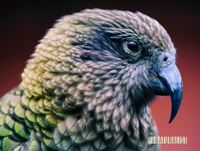 The kea is the world's only alpine parrot and it lives right here in New Zealand. This critically endangered bird is one of the most intelligent creatures on the planet, but also incredibly curious and silly. It never feels like birdwatching with them, more like hanging out with a small, playful child that happens to be covered in feathers. This is one of most favorite animals and it was a real treat to get to meet one in person. I'll be spending the next week or so trying to meet the wild counterparts, whose numbers have been reduced to very few since colonization. Fortunately their friendliness makes them fairly easy to find 🇳🇿 • • • • • • #nzmustdo #wellingtonzoo #wellingtonnz #wellington #newzealandfinds #newzealandwildlife #newzealand #wildlifephotography #canon6d #canonaustralia #pocketbirds #bird_lovers #birdwatching #wildlife_shots #wildlife_vision #birdoftheday #kea #instabird #bird_watchers_daily #birding #newzealandbirds