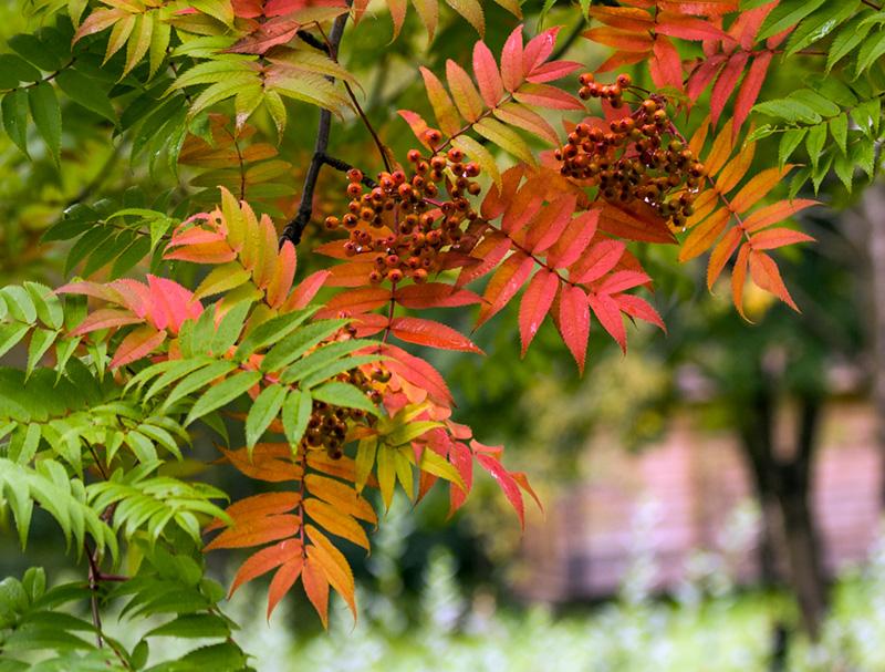 Fjallareynir (Sorbus Commixta) er fallegur í haustlitum.