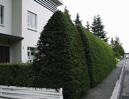 Sitkagreni limgerði (1).jpg