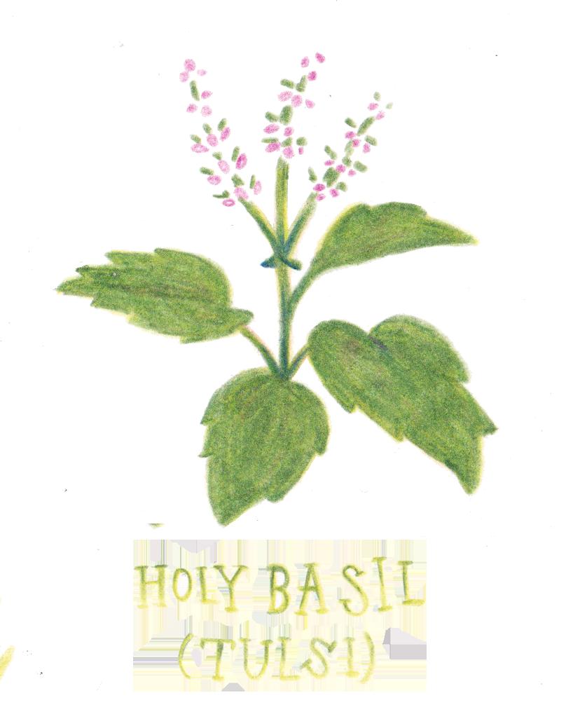 holy basil.png