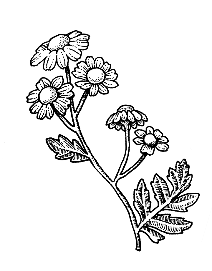 Herbal Alphabet - feverfew.png