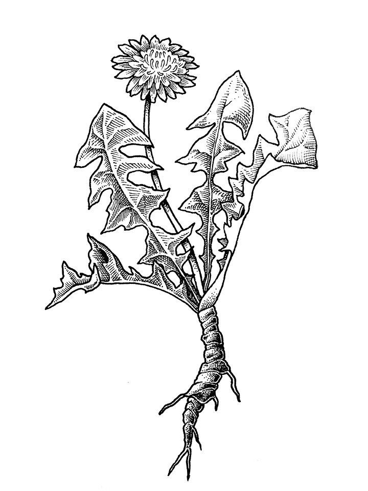 Herbal Alphabet - Dandelion.png