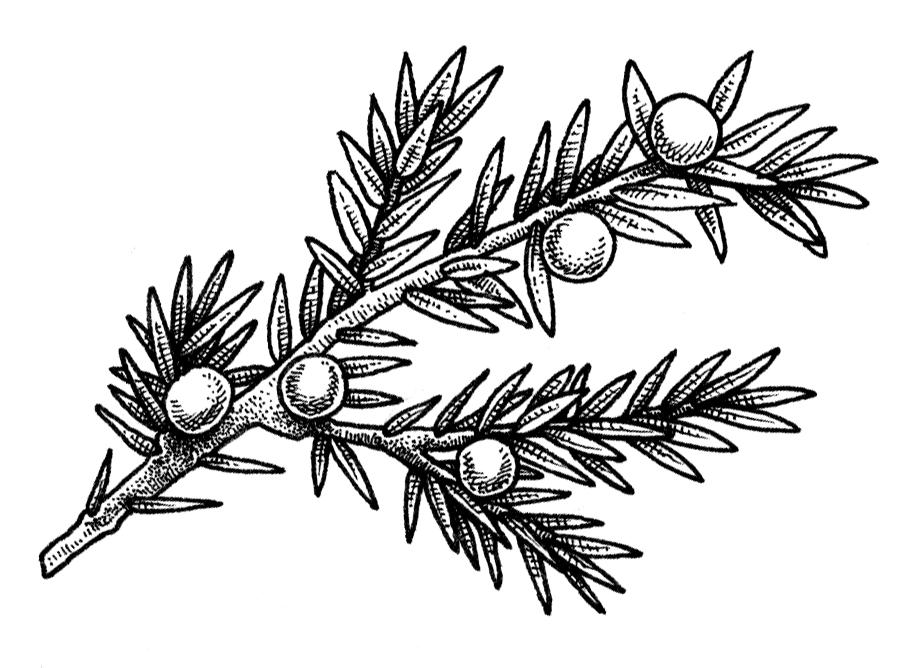 Herbal Alphabet - Juniper.png