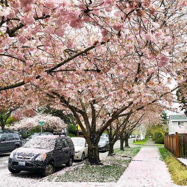 It's raining petals 🌸🌸🌸🌸 #vitamasques #flowers #nature #sakura #cherryblossom #blossom #pink
