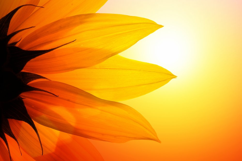 sunflower-dreamstime-web.jpg