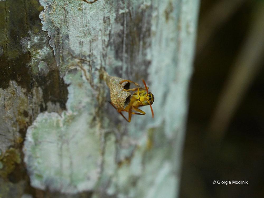 wasp (fav) urku C.jpg