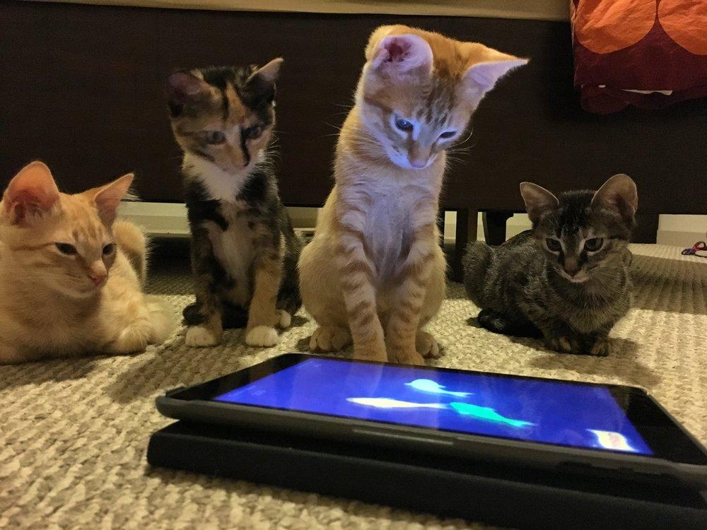 Kittens M Litter 1.JPG