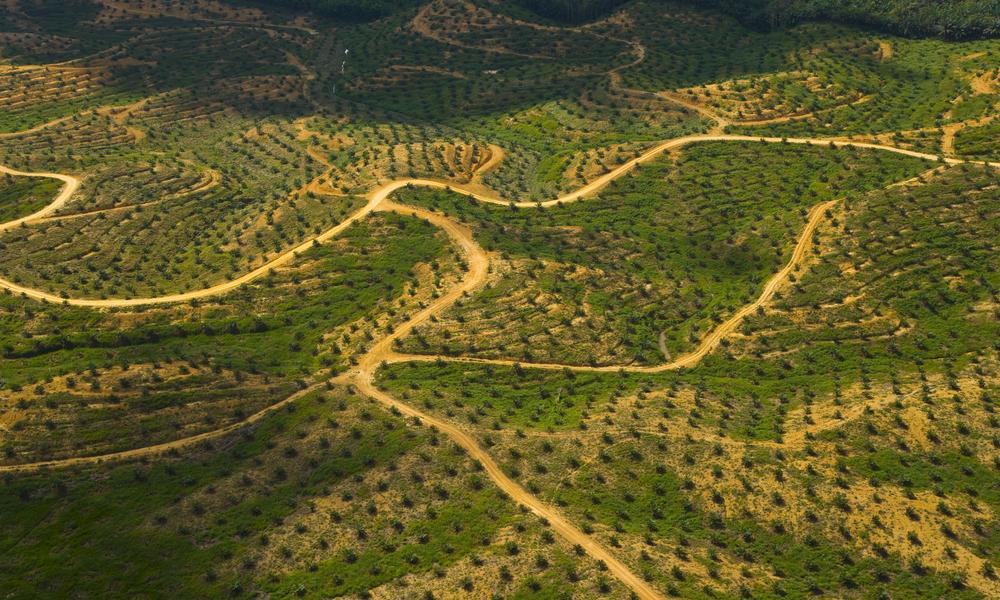 A huge, huge palm oil plantation.
