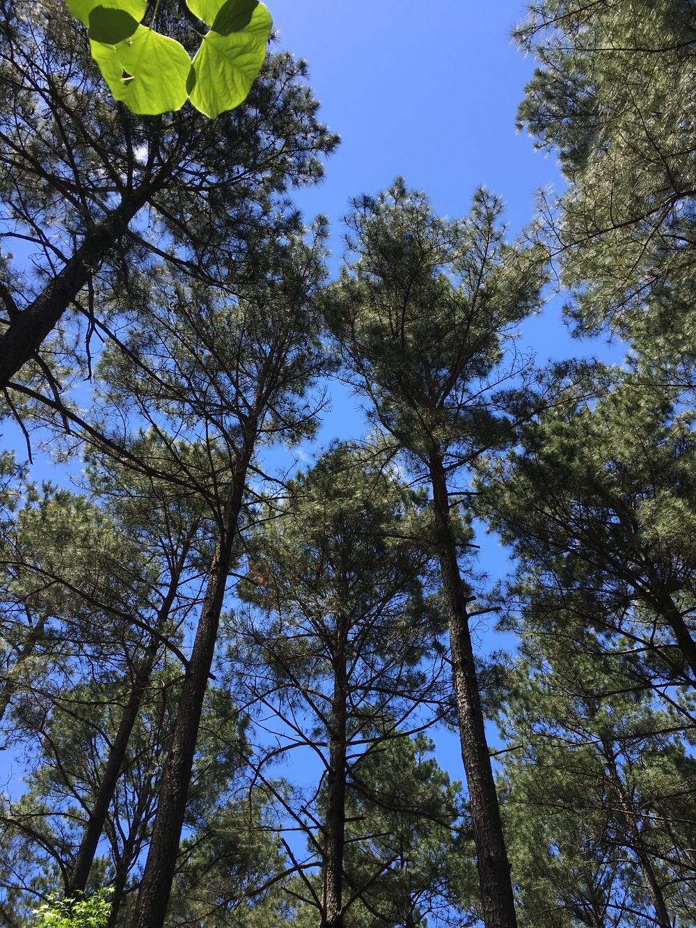 General WePlant It Forward Tree image of Pine trees at Harris Lake Park IMG_4527.JPG