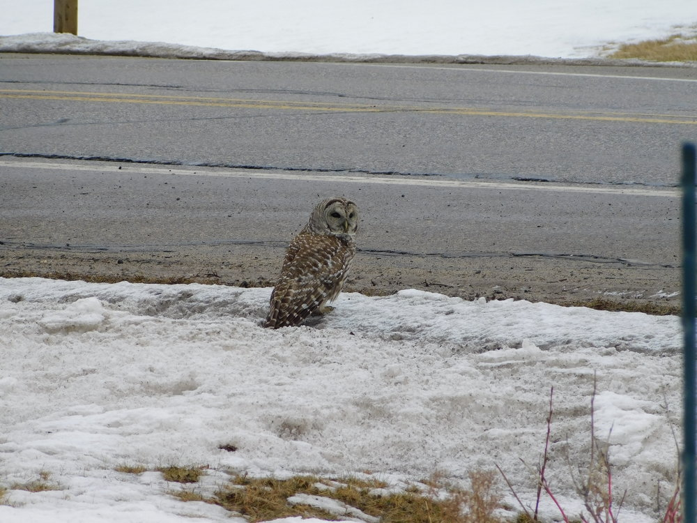 owl hessel.JPG