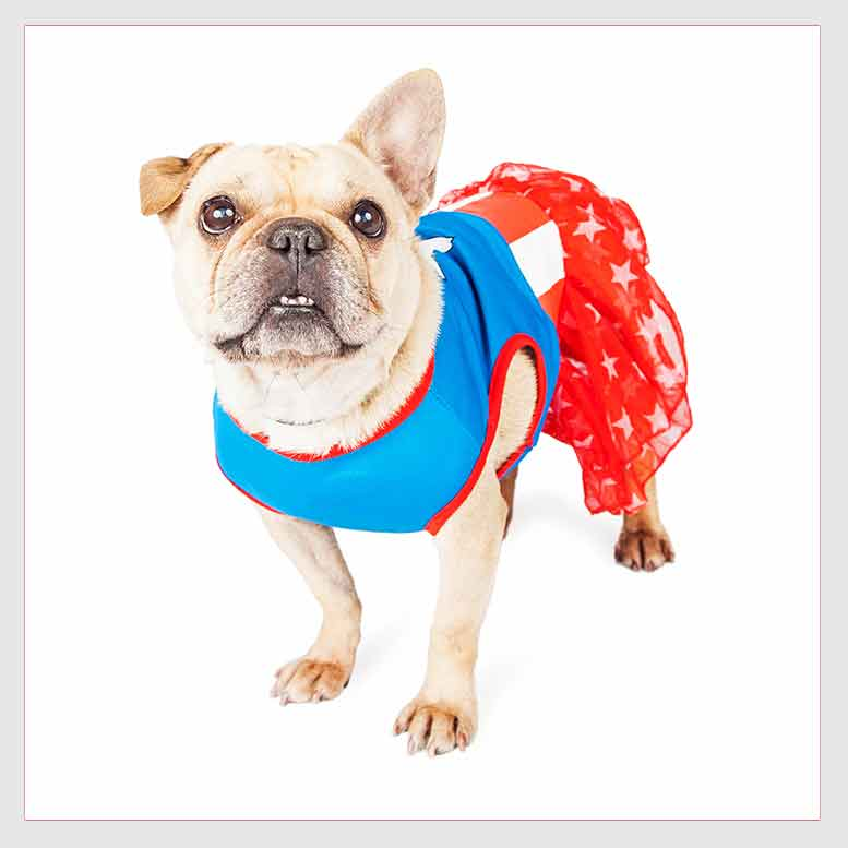 Funny Female French Bulldog Super Hero.jpg