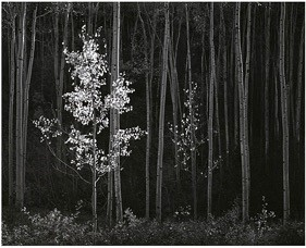 Aspens, Northern New Mexico  (1958)   On View