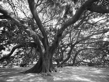 moreton bay fig.jpg