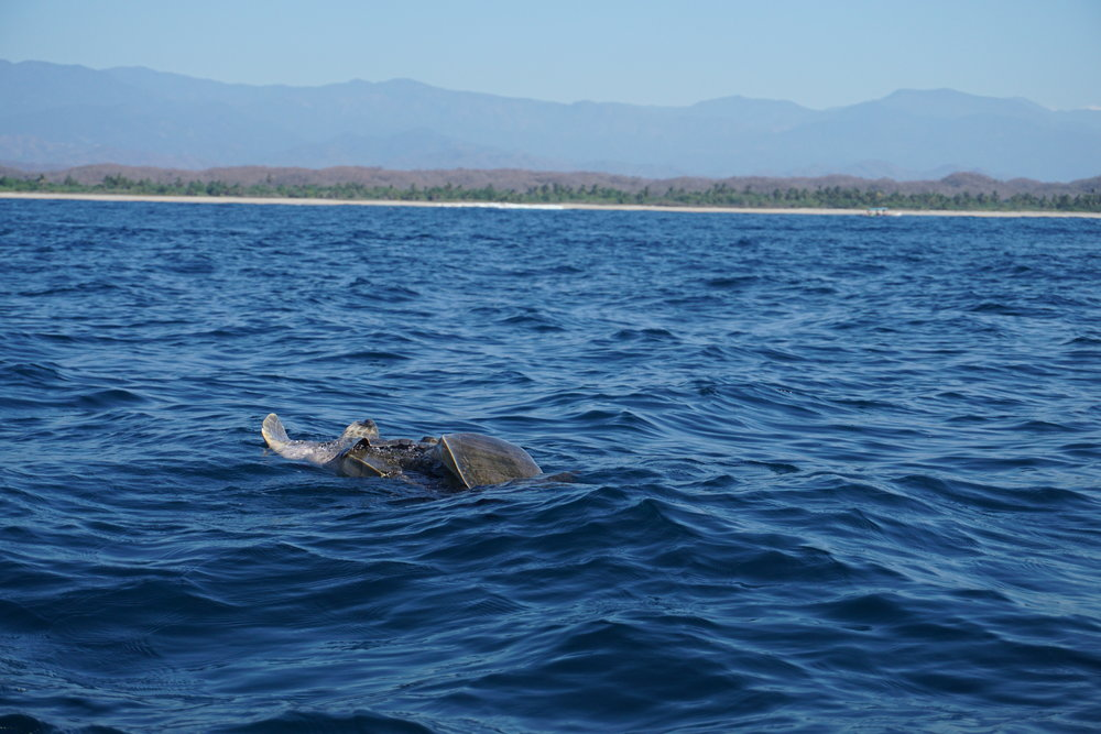 Wale in Zipolite Mexiko