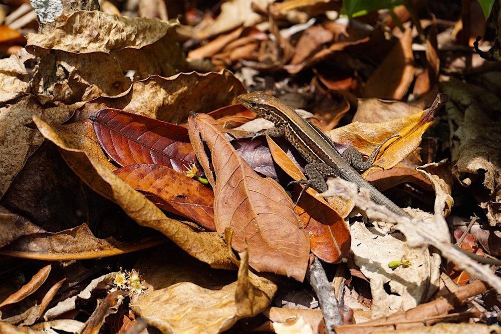 Gecko an der Karibikküste in Costa Rica