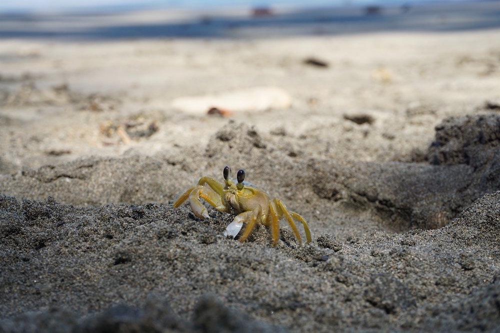 Strandbewohner an der Karibikküste